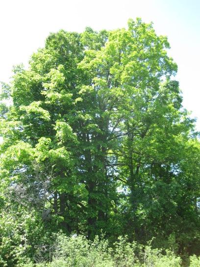 beautifuloldtree