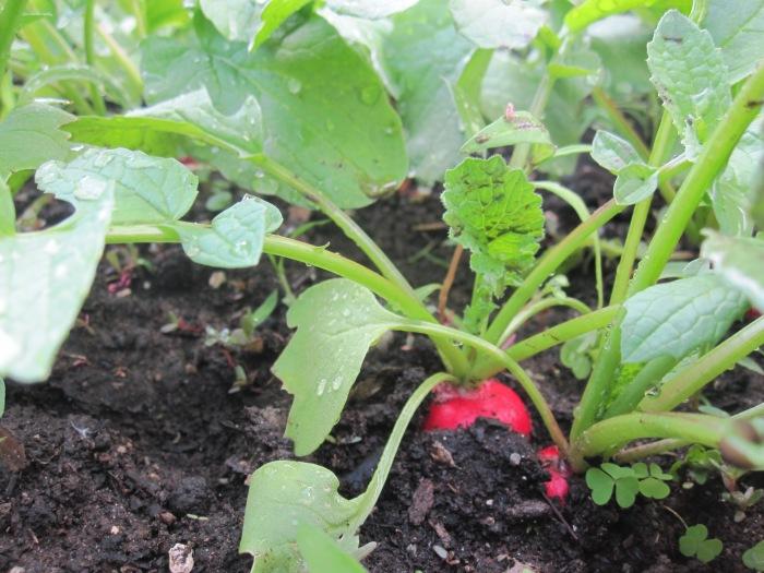 H2 R2 P4 radish ready late june